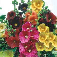 hollyhock flowers hollyhock single mixed seeds from mr fothergill s seeds and