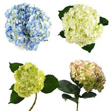 Bulk Hydrangeas Blue Hydrangeas Make Gorgeous Do It Yourself Budget Wedding