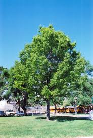 red oak quercus rubra in minneapolis st paul twin cities metro