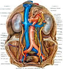 Human Anatomy Atlas Vessels Of The Abdomen Anatomy Atlas Thorax Abdomen Pelvis Human