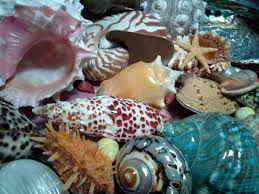 where to buy seashells seashells for sale seashell decor corals