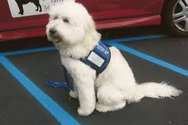 australian shepherd labradoodle top 5 service dog breeds guiding the blind u2013 animal facts