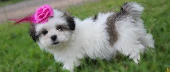 american eskimo dog for sale sydney 35 unreal shih tzu cross breeds you have to see to believe