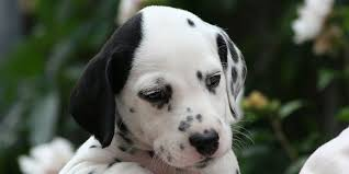 dalmatian information characteristics facts names