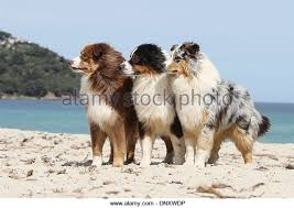 australian shepherd 9 monate dog australian shepherd aussie three stock photos u0026 dog australian