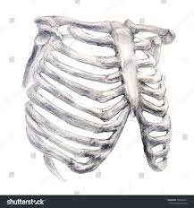 Skeleton Images For Halloween by Hand Drawing Bone Skeleton Anatomical Drawing Stock Illustration