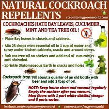 best 25 roach killer ideas on pinterest roaches roach remedies
