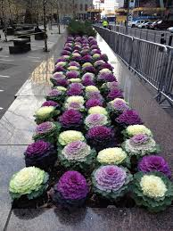 ornamental cabbages in nyc i these in purple of course