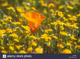 antelope valley california poppy state reserve stock photos