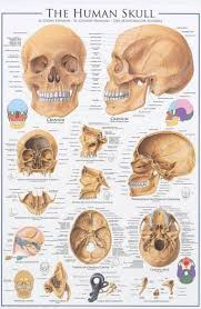 Human Anatomy Skull Bones 25 Best Human Skull Ideas On Pinterest Human Skull Anatomy