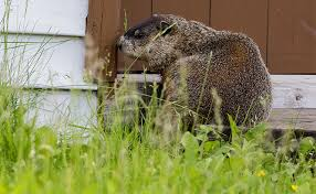 How Do I Get Rid Of Rabbits In My Backyard Humane Animal Trapping Articles U0026 Tips Havahart