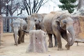 Wild Lights Denver Zoo by Denver Zoo U0027s Three Male Elephants Share Space In Rare U201csocial
