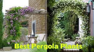19 best pergola plants climbing plants for pergolas and arbors