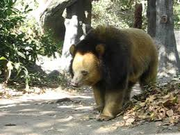 blonde color phase asian black bear ursus thibetanus ptwrc