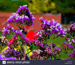 straw flowers bee on purple and white straw flowers stock photo 49830885
