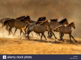 mustang horse running wild horses running away california stock photo royalty free