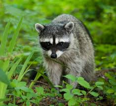 Raccoons In Backyard How To Get Rid Of Raccoons From Your Backyard
