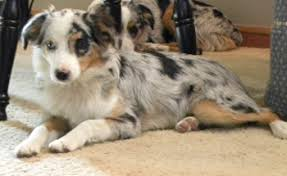 south dakota australian shepherd dakota toy aussies