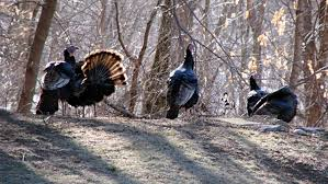 Backyard Turkeys Turkey Search Results The Smell Of Molten Projects In The Morning