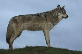 single wolf stock photos royalty free business images