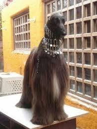 afghan hound national 2014 afghan hound 04 afghan hound pinterest 04