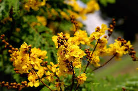 Yellow Flowering Trees - in photos yellow flowering trees of hcm city