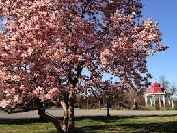 flowering trees today frozen blooms tomorrow st louis radio