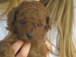 australian shepherd illinois for sale illinois breeder toy poodle puppies miniature poodles