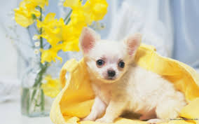 Wallpaper Dogs Chihuahua Dogs Wallpaper Wallpapersafari