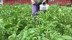 colorado beetle larva on potato plants in plantation and farmer