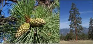 tree species extension