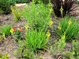 late garden party my favorite plant this week bulbine