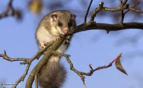 edible photo nature edible dormouse news and facts