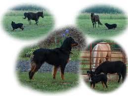 diamond s australian shepherds murray u0027s australian shepherds aussies u0026 puppies for sale