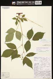 A Map Of Wisconsin by Online Virtual Flora Of Wisconsin Rubus Canadensis