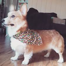 14 things you never knew about the world u0027s cutest pup the corgi