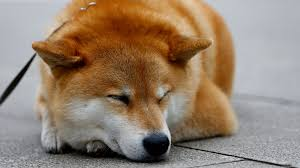 Meme Shiba Inu - reddit users lose real money after meme currency bot dies