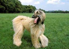 afghan hound breeders new york 1970s cool tall long hair dog afghan hound adorable critters