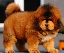 lion heads for sale best 25 tibetan mastiff for sale ideas on tibetan