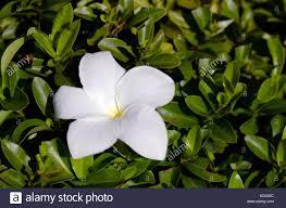 gardenia bush stock photos u0026 gardenia bush stock images alamy