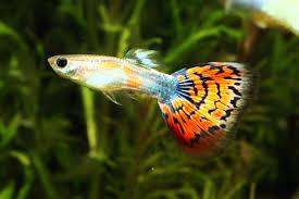 beautiful ornamental fish april 2010