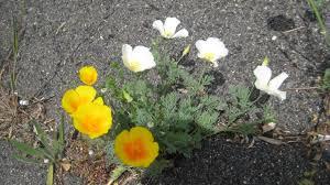 wild white california poppy foothill sierra pest control