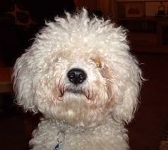 bichon frise and cats bichon frise breed information and photos thriftyfun