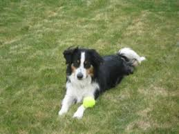 australian shepherd electric fence dog fence tranining puget sound electric pet fence systems and