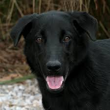 belgian shepherd labrador retriever mix dogs in danger our dogs in much danger
