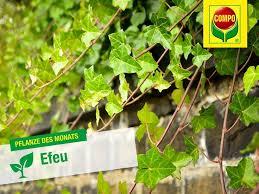 kletterpflanzen fã r balkon 17 best ideas about immergrüne kletterpflanze on