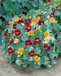 nasturtium flowers nasturtium seeds 13 nasturtiums annual flower seeds