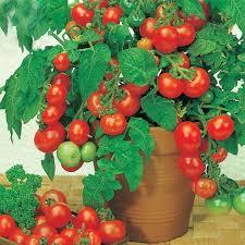 aliexpress buy bonsai tomato seeds mini cherry potted sweet