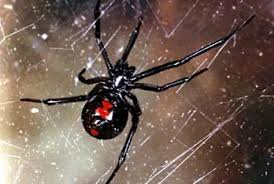 Black Widow Spiders Had A - black widow spiders living the country life