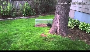 new day pest control trapping skunk youtube